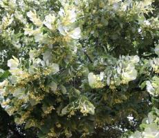 Kislevelű hárs - Tilia cordata