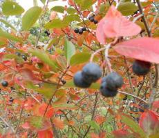 Fekete berkenye - Aronia melanocarpa