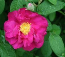 Rosa gallica 'Officinalis'