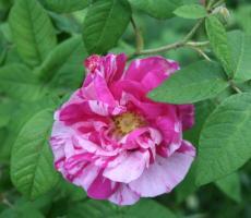 Rosa gallica `Variegata`