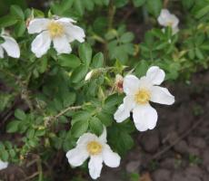 Rosa paulii
