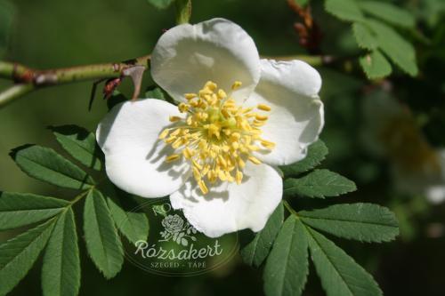 Szárnyalttüskéjű rózsa